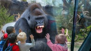Gorilla reacting to being watched